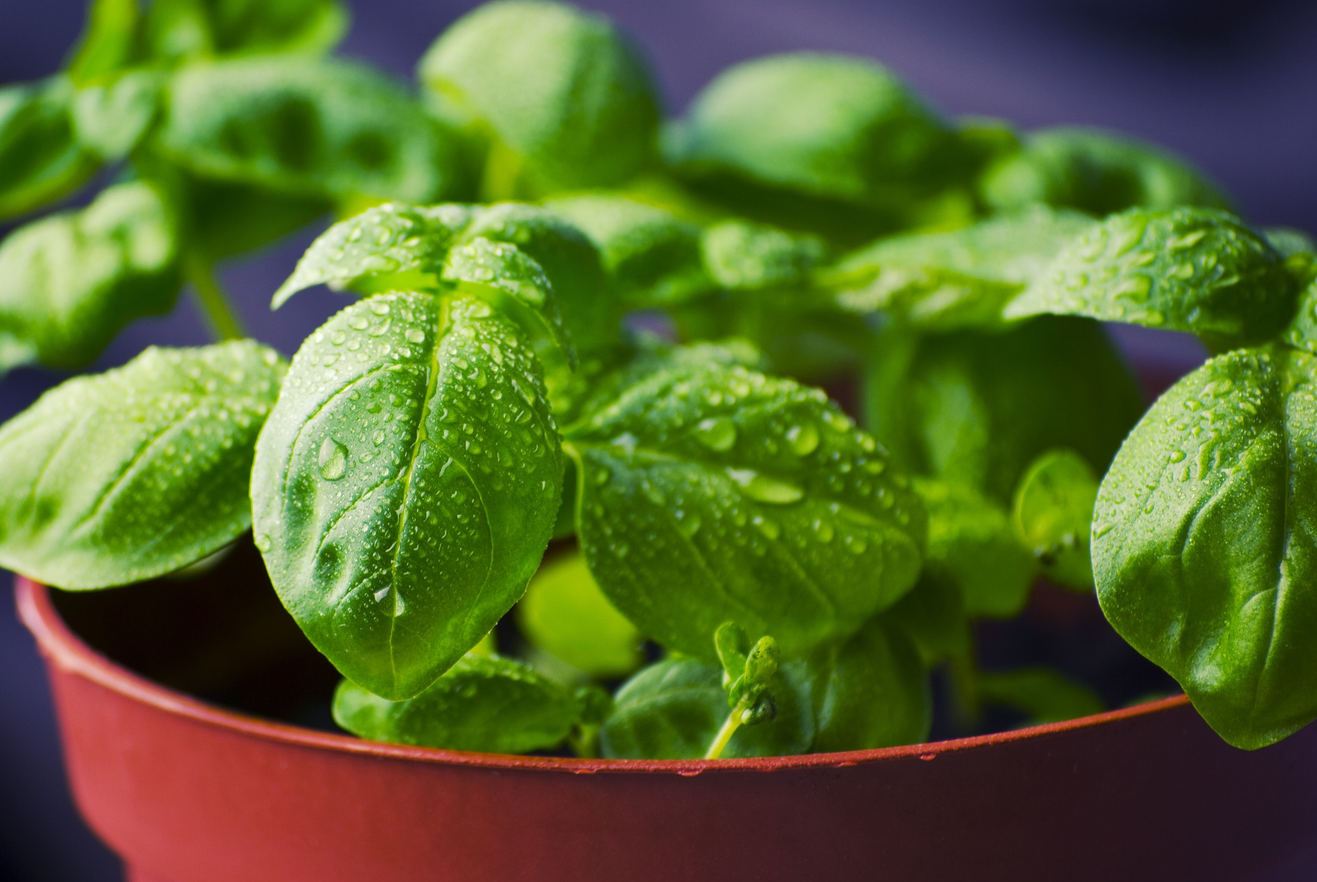 green herbs safe for pets